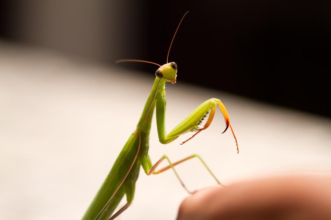 praying Mantis Toronto