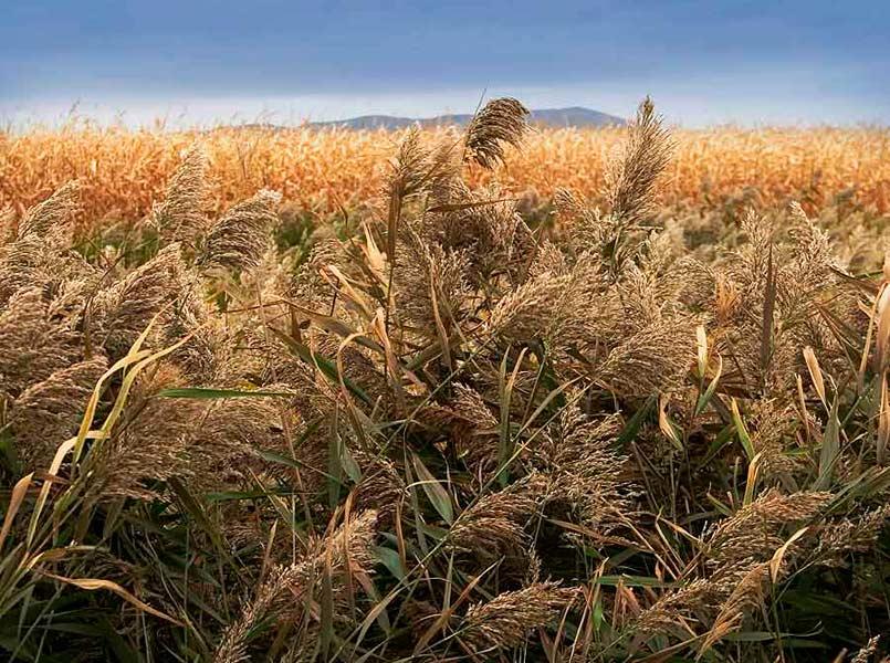Wheat Fields, Quebec