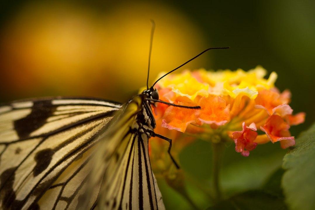 http://www.butterflygardens.com