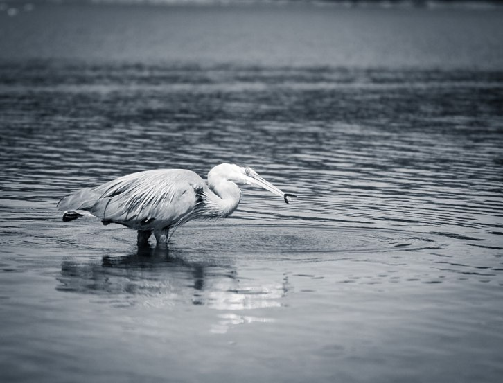 Heron ©Shireen Nadir 2012