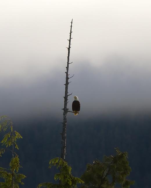 Bald Eagle Tofino ©Shireen Nadir 2012
