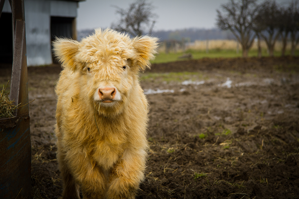 Baby highland cow - photo#17