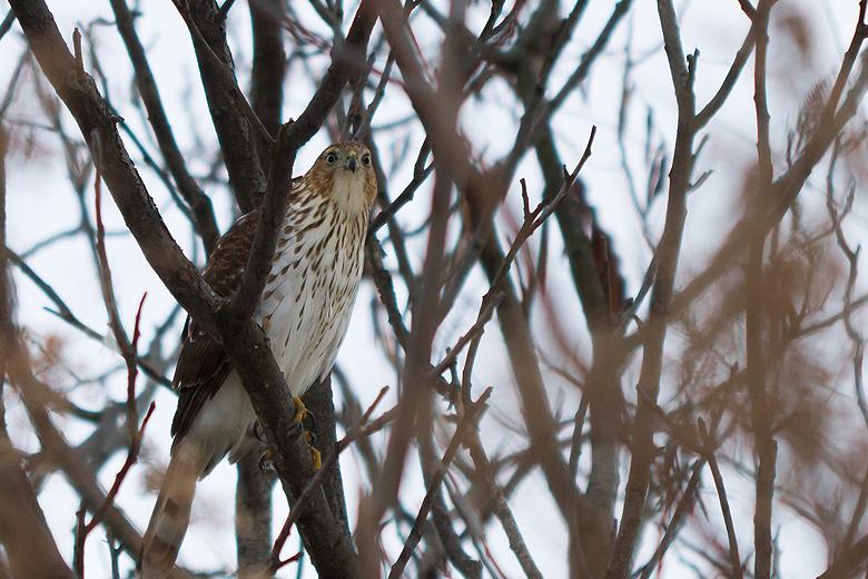 Hawk, Toronto, Music Garden