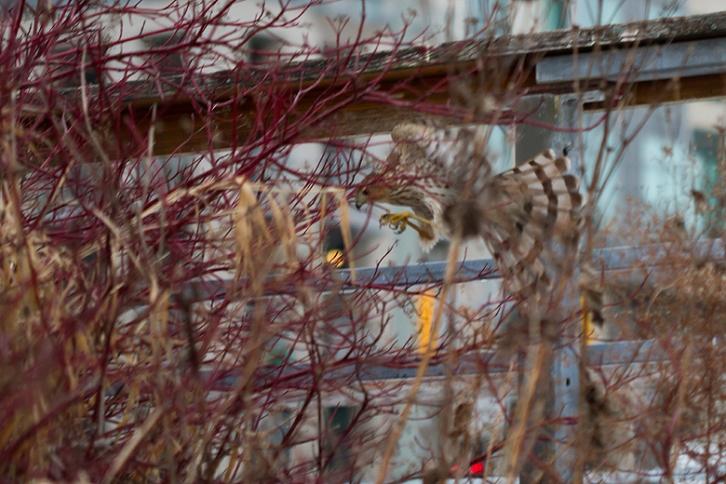 Music Garden, Toronto, Hawk