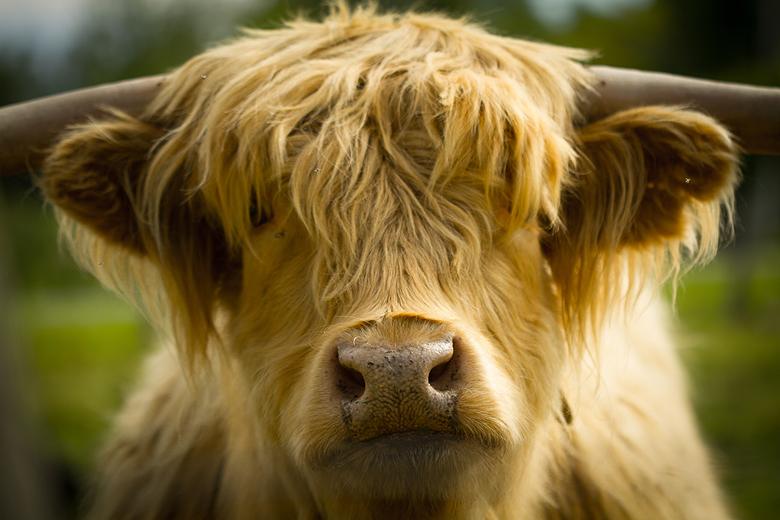 Gryphon Ridge Highland Cattle ©Shireen Nadir 2013