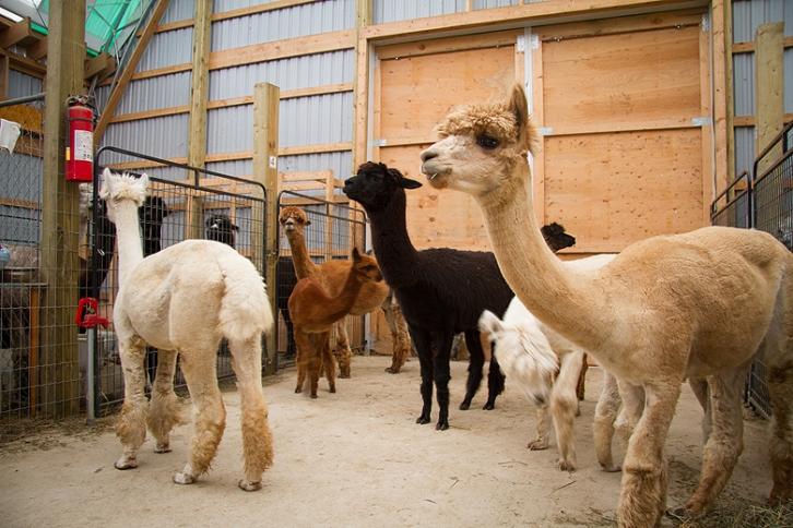 Kickin Back Alpaca Ranch